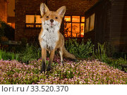 Купить «Red fox (Vulpes vulpes) in town house garden at night, Greater Manchester, UK. Camera trap image.», фото № 33520370, снято 10 июля 2020 г. (c) Nature Picture Library / Фотобанк Лори