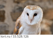 Купить «Barn Owl / Schleiereule ( Tyto alba ), Common Barn Owl, most popular owl, white variant, frontal view, Western Europe.», фото № 33528126, снято 24 августа 2019 г. (c) age Fotostock / Фотобанк Лори
