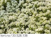 Купить «Lobularia maritima 'Snow Crystals' - Sweet Alyssum being grown organically in containers inside a greenhouse.», фото № 33528138, снято 30 мая 2018 г. (c) age Fotostock / Фотобанк Лори
