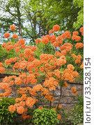 Купить «Rhododendron 'Mandarin Lights' shrub in raised stone wall border in backyard garden in late spring.», фото № 33528154, снято 1 июня 2017 г. (c) age Fotostock / Фотобанк Лори
