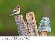 Pied Flycatcher, Ficedula hypoleuca, Papamoscas Cerrojillo, Castilla y León, Spain, Europe. Стоковое фото, фотограф Alberto Carrera / age Fotostock / Фотобанк Лори