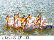 Купить «Flock of big birds Great White Pelicans swim on Lake Tana, Bahir Dar, Ethiopia, Africa wildlife», фото № 33531422, снято 5 июля 2020 г. (c) easy Fotostock / Фотобанк Лори