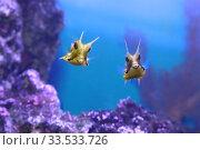 Купить «Обыкновенный рогатый кузовок  (Lactoria cornuta) морская рыба», фото № 33533726, снято 19 марта 2020 г. (c) Татьяна Белова / Фотобанк Лори
