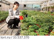 Купить «Chinese woman gardener working with tomato seedlings in greenhouse», фото № 33537370, снято 3 июня 2019 г. (c) Яков Филимонов / Фотобанк Лори