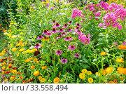 Купить «Эхинацея пурпурная (лат. Echinacea purpurea) цветет на клумбе среди садовых цветов», фото № 33558494, снято 12 августа 2019 г. (c) Елена Коромыслова / Фотобанк Лори