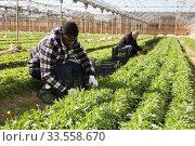 African american worker gathering in crops of arugula. Стоковое фото, фотограф Яков Филимонов / Фотобанк Лори