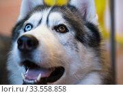 Купить «Siberian Husky Portrait of thoroughbred Siberian Husky dog», фото № 33558858, снято 16 июля 2017 г. (c) Татьяна Яцевич / Фотобанк Лори