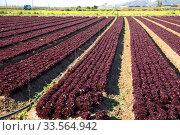 Rows of harvest of red lettuce in garden. Стоковое фото, фотограф Яков Филимонов / Фотобанк Лори