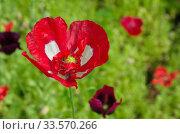 Красно-белый мак цветет в саду. Стоковое фото, фотограф Елена Коромыслова / Фотобанк Лори