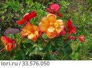 Бегония Пикоти красно-желтая (лат. Begonia picotee red yellow) цветет в саду. Стоковое фото, фотограф Елена Коромыслова / Фотобанк Лори