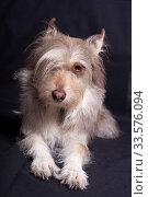A cute fluffy gray dog with one eye closed by a bang lies in a dark background. Стоковое фото, фотограф Яна Королёва / Фотобанк Лори