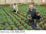 Hired workers engaged in cultivating Argyranthemum percussion in greenhouse. Стоковое фото, фотограф Яков Филимонов / Фотобанк Лори