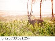 Waterbuck, large antelope in the bog of Kenya park. Стоковое фото, фотограф Сергей Новиков / Фотобанк Лори