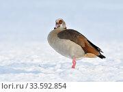 Egyptian Goose / Nilgans (Alopochen aegyptiacus) single bird in winter, standing on farmland covered with fresh fallen snow, watching, wildlife, Europe. Стоковое фото, фотограф Ralf Kistowski / age Fotostock / Фотобанк Лори