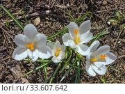 Купить «Белые крокусы. Апрель», фото № 33607642, снято 15 апреля 2019 г. (c) Александр Романов / Фотобанк Лори