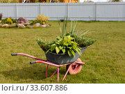 Садовая тачка с декоративными многолетними растениями. Ландшафтный дизайн. Стоковое фото, фотограф Светлана Голинкевич / Фотобанк Лори