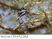 Купить «Chin-spot Batis that sits on an acacia branch in an oasis in an African shroud», фото № 33612262, снято 12 июля 2020 г. (c) easy Fotostock / Фотобанк Лори