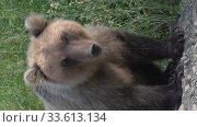 Купить «Vertical video wild hungry Kamchatka brown bear standing on roadside of gravel country road», видеоролик № 33613134, снято 4 августа 2020 г. (c) А. А. Пирагис / Фотобанк Лори