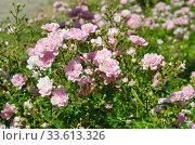 Кустовая низкорослая розовая роза цветет в парке. Стоковое фото, фотограф Елена Коромыслова / Фотобанк Лори