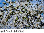 "Купить «Краснодарский край, Туапсе, цветущая ""магнолия голая"" Magnolia denudata», фото № 33613902, снято 21 марта 2020 г. (c) glokaya_kuzdra / Фотобанк Лори"