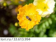 Пчела собирает пыльцу на желтом цветке купальницы. Стоковое фото, фотограф Евгений Ткачёв / Фотобанк Лори