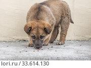 Купить «Beautiful bright brown puppy with dark sad eyes and black nose eats dog food», фото № 33614130, снято 15 июля 2020 г. (c) Татьяна Куклина / Фотобанк Лори