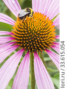Купить «Coneflower / Rudbeckia purpurea 'Magnus'.», фото № 33615054, снято 6 августа 2013 г. (c) age Fotostock / Фотобанк Лори