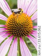 Купить «Coneflower / Rudbeckia purpurea 'Magnus'.», фото № 33615062, снято 6 августа 2013 г. (c) age Fotostock / Фотобанк Лори