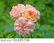 Цветение розы многоцветковой (Rosa multiflora Thunb.). Крупный план. Стоковое фото, фотограф Ирина Борсученко / Фотобанк Лори