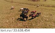 Купить «Flight over wild horses herd on mountain meadow. Summer mountains wild nature. Freedom ecology concept.», видеоролик № 33638454, снято 28 июля 2018 г. (c) Александр Маркин / Фотобанк Лори