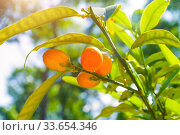 Купить «Фортунелла Маргарита. Summer background. Kumquat fruits in the garden, closeup. Fortunella margarita kumquats», фото № 33654346, снято 6 июня 2019 г. (c) Зезелина Марина / Фотобанк Лори