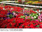 Купить «View of different bloomy flowers begonia growing in greenhouse», фото № 33654686, снято 7 августа 2020 г. (c) Яков Филимонов / Фотобанк Лори
