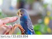 Купить «A beautiful wavy parrot of blue color pecks a person's finger. Parrot bites», фото № 33659894, снято 21 апреля 2020 г. (c) Екатерина Кузнецова / Фотобанк Лори