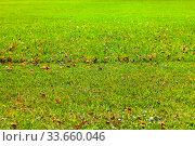Купить «Green lawn with fallen leaves close-up.», фото № 33660046, снято 3 октября 2019 г. (c) Елена Блохина / Фотобанк Лори