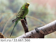 Купить «Berlin, Germany, budgie sitting on a branch in an aviary», фото № 33661566, снято 14 февраля 2020 г. (c) Caro Photoagency / Фотобанк Лори