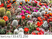 Beautiful blooming multicolored cacti in pots are sold at the flower market. Стоковое фото, фотограф Наталья Волкова / Фотобанк Лори