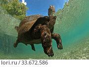 Aldabra giant tortoise (Aldabrachelys gigantea) swimming in Passe Grande Magnan / Magnan channel, Aldabra, Indian Ocean Image taken under controlled conditions. Стоковое фото, фотограф Willem  Kolvoort / Nature Picture Library / Фотобанк Лори