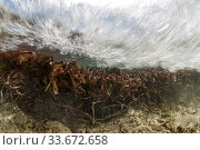 The strong ebb current pulling seagrass, draining the Aldabra lagoon, Aldabra, Indian Ocean. Стоковое фото, фотограф Willem  Kolvoort / Nature Picture Library / Фотобанк Лори