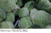 Купить «Closeup of fresh savoy cabbages. Vegetable background. Vegetarian food concept», видеоролик № 33672962, снято 20 ноября 2019 г. (c) Яков Филимонов / Фотобанк Лори