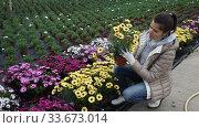 Купить «Young female florist arranging potted colorful flowering Dimorphotheca ecklonis plants while gardening in glasshouse», видеоролик № 33673014, снято 17 марта 2020 г. (c) Яков Филимонов / Фотобанк Лори