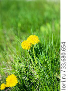 Spring summer floral natural background with copy space from yellow blooming dandelions of lush vibrant green grass on a sunny warm day on the lawn. Herbal medicine, medicinal plant Taraxacum officinale. Стоковое фото, фотограф Светлана Евграфова / Фотобанк Лори