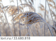 Reed covered with hoarfrost in the first rays of the sun. Стоковое фото, фотограф Александр Карпенко / Фотобанк Лори