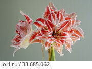 A close up of a potted variegated red and white amaryllis flowers. Стоковое фото, фотограф Joseph De Sciose / age Fotostock / Фотобанк Лори