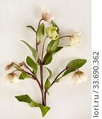 Delicate hellebore flowers arranged artfully on a white surface. Стоковое фото, фотограф Erin Derby / age Fotostock / Фотобанк Лори