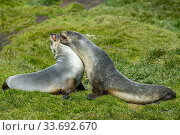 Купить «Antarctic fur seals (Arctocephalus gazella) play fighting near the Norwegian whaling station in Grytviken on South Georgia Island, Sub-Antarctica.», фото № 33692670, снято 29 декабря 2013 г. (c) age Fotostock / Фотобанк Лори