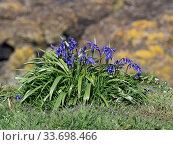 Bluebell (Hyacinthoides non-scripta) on a coastal cliff, Lunga Island, Treshnish Isles, Inner Hebrides, Scotland, UK, May. Стоковое фото, фотограф Mike Read / Nature Picture Library / Фотобанк Лори