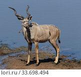 Kudu (Tragelaphus strepsiceros) male, with Yellow-billed oxpecker (Buphagus africanus), Mana Pools National Park, Zimbabwe. Стоковое фото, фотограф Tony Heald / Nature Picture Library / Фотобанк Лори