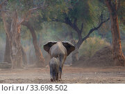 Купить «African elephant (Loxodonta africana) female followed by calf, Mana Pools National Park, Zimbabwe.», фото № 33698502, снято 5 июля 2020 г. (c) Nature Picture Library / Фотобанк Лори
