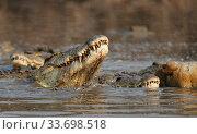 Nile crocodile (Crocodylus niloticus) feeding on carcass of Hippopotamus... Стоковое фото, фотограф Tony Heald / Nature Picture Library / Фотобанк Лори