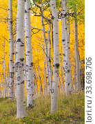 Autumn quaking aspen grove (Populus tremuloides) with trunks scarred by browsing elk (Cervus canadensis). Below Turret Ridge, Uncompahgre National Forest, Colorado, USA. October. Стоковое фото, фотограф John Shaw / Nature Picture Library / Фотобанк Лори